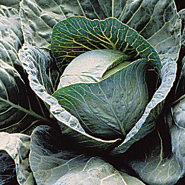 Cabbage 'Discovery' (Brassica oleracea)