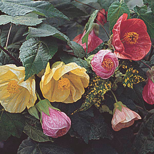 Flowering Maple, Indian Mallow, Parlor Maple (Abutilon hybrid)