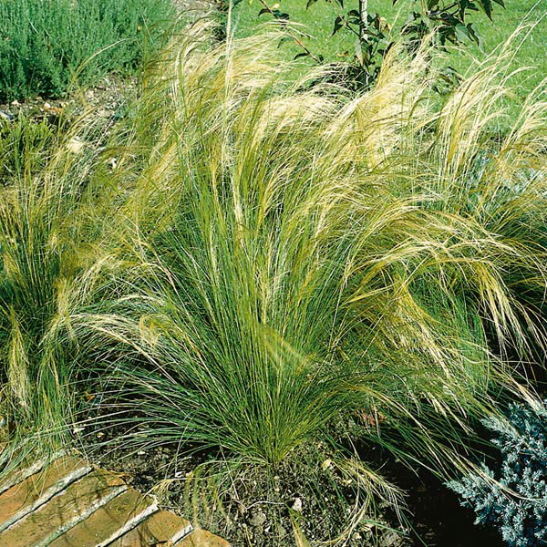 Feather Grass (Stipa species)