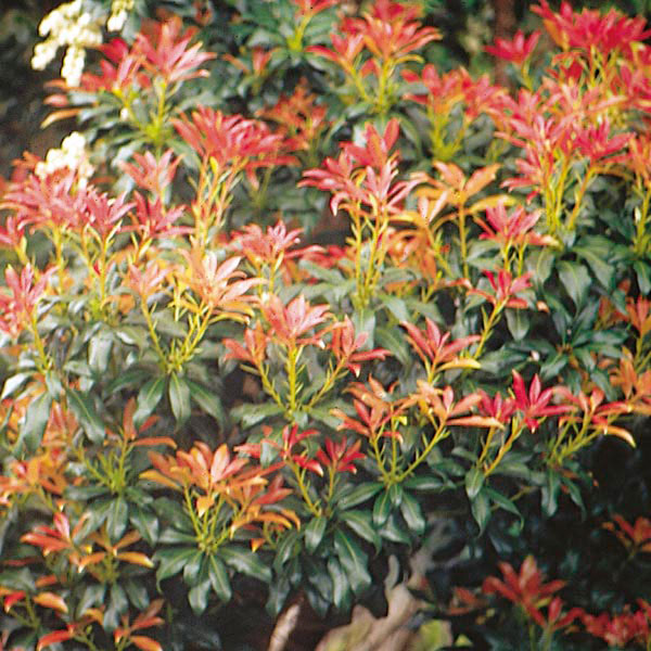 japanese pieris lily of the valley shrub 39 forest flame. Black Bedroom Furniture Sets. Home Design Ideas