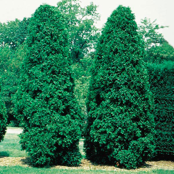 Emerald Cedar (Thuja occidentalis)