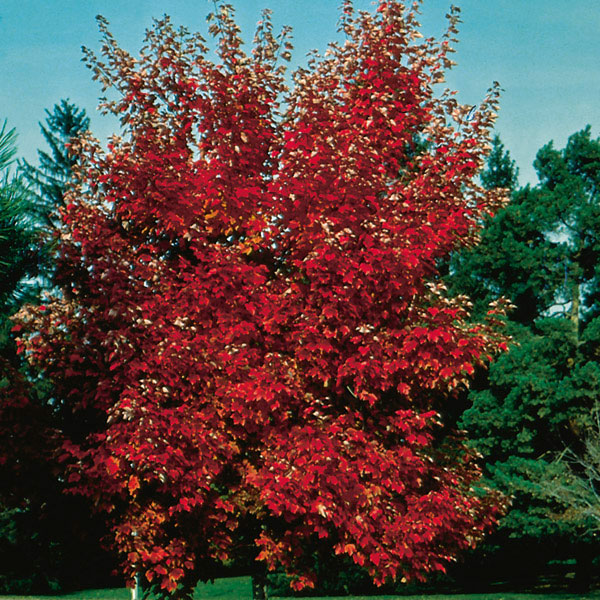 red maple acer rubrum my garden life. Black Bedroom Furniture Sets. Home Design Ideas