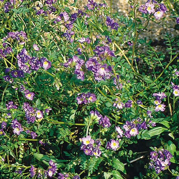 Creeping Jacob's Ladder (Polemonium reptans)
