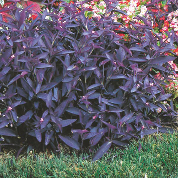 Purple Heart, Wandering Jew, Purple Queen (Setcreasea pallida)