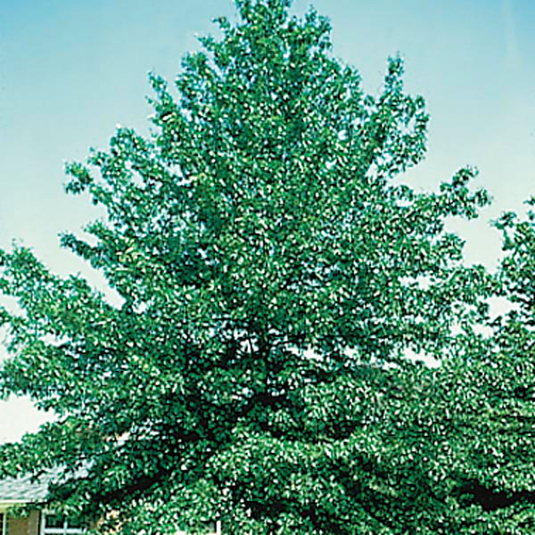 Pin Oak, Swamp Spanish Oak (Quercus palustris)