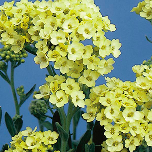 Basket of Gold (Alyssum saxatile)