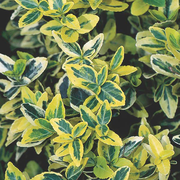 wintercreeper 39 emerald 39 n gold 39 euonymus fortunei my. Black Bedroom Furniture Sets. Home Design Ideas