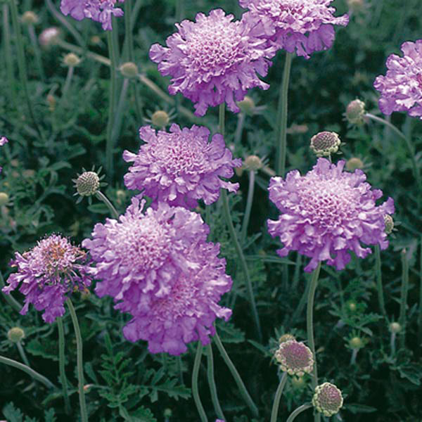 Pincushion Flower, Small Scabious, Dove Pincushions (Scabiosa columbaria)