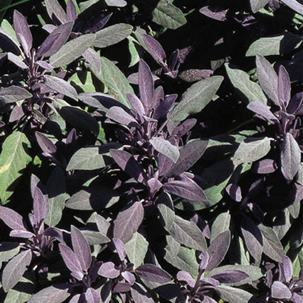 Common Sage, Culinary Sage (Salvia officinalis)