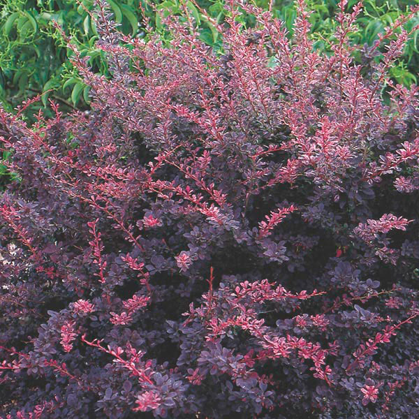 Japanese barberry 39 rose glow 39 berberis thunbergii my garden life - Planting rose shrub step ...