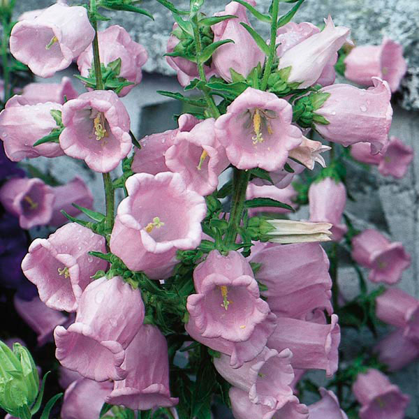 Canterbury Bells (Campanula medium)