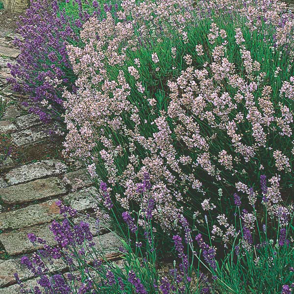 Lavender Assorted (Lavandula species)