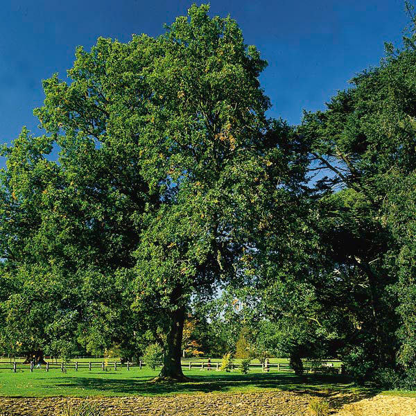 Pyramidal English Oak, French Oak (Quercus robur)