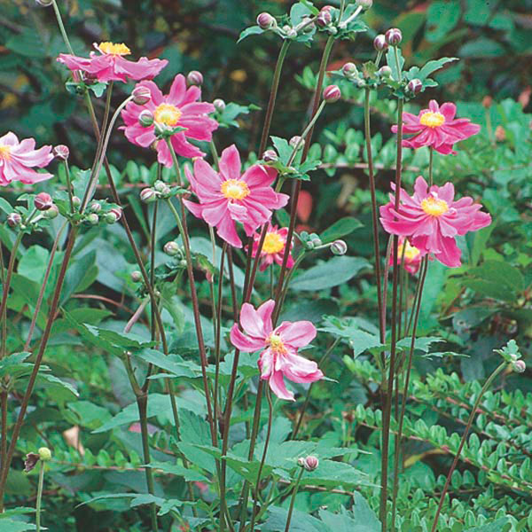Japanese Windflower (Anemone hupehensis)
