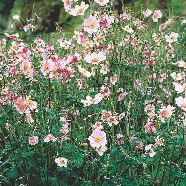 Windflower, Japanese Anemone (Anemone japonica)