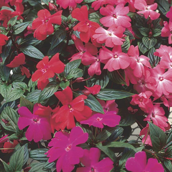 New guinea impatiens impatiens x hybrida my garden life for New guinea impatiens