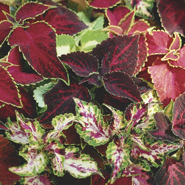 Coleus, Painted Nettle (Solenostemon hybrid)