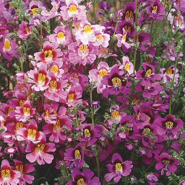 Schizanthus, Butterfly Flower, Poor Man's Orchid (Schizanthus )