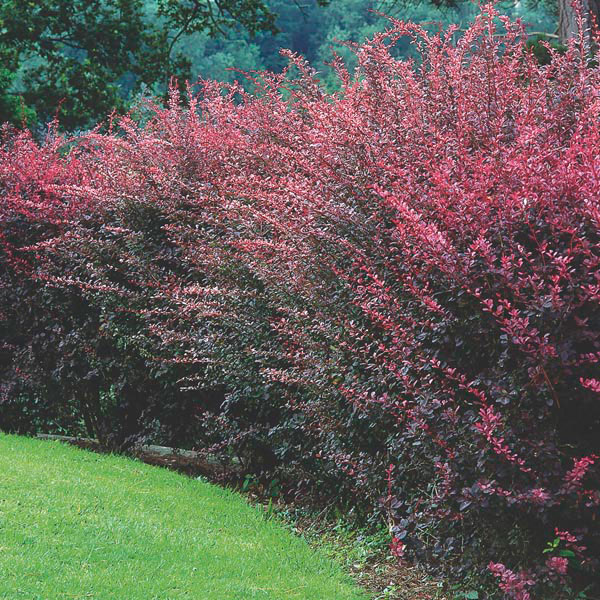 red japanese barberry 39 atropurpurea 39 berberis thunbergii. Black Bedroom Furniture Sets. Home Design Ideas
