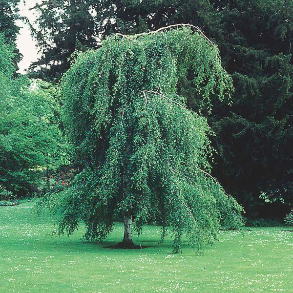 Weeping Cutleaf Birch, European White Birch (Betula pendula)
