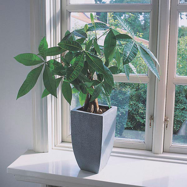 money plant money tree fortune tree pachira aquatica my garden insider. Black Bedroom Furniture Sets. Home Design Ideas