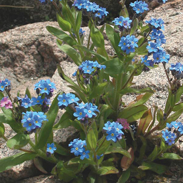 Forget-Me-Not (Myosotis sylvatica)