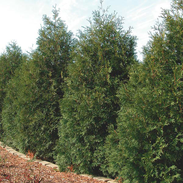 White Cedar, Eastern Arborvitae (Thuja occidentalis)