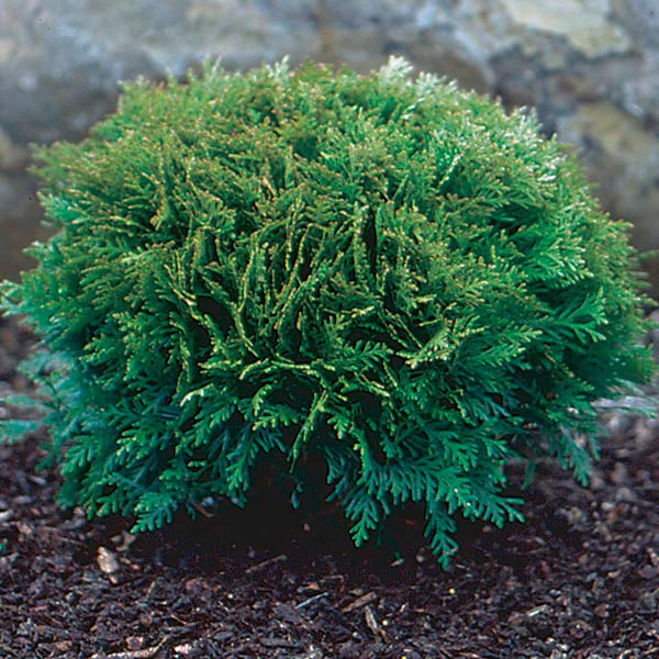 Dwarf Globe Arborvitae 'Little Giant' (Thuja occidentalis)