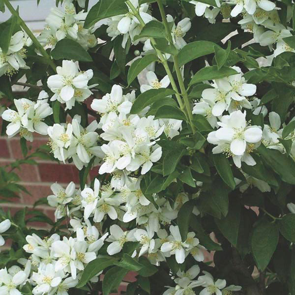 Lewis' Mock Orange (Philadelphus lewisii)