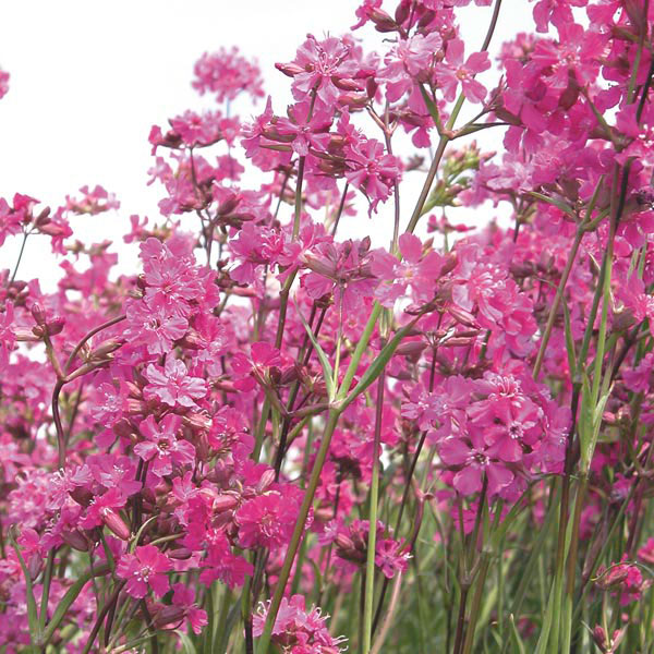 Sticky Catchfly, German Catchfly (Lychnis viscaria)