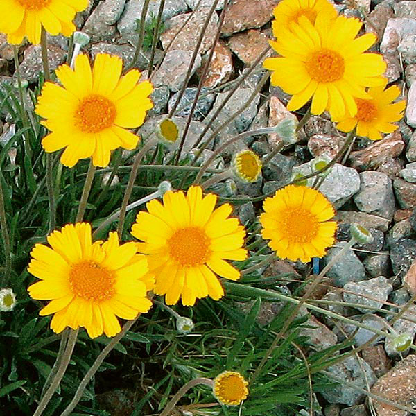 how to grow daisies inside