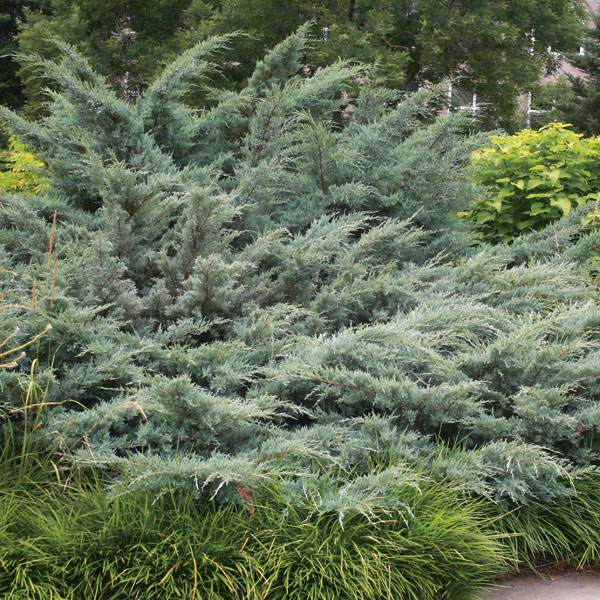 Red Cedar Juniper ~ Eastern juniper red cedar grey owl juniperus