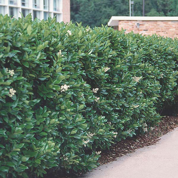 Ligustrum Wax Leaf Privet http://www.mygardenlife.com/plant-library/2271/ligustrum/japonicum