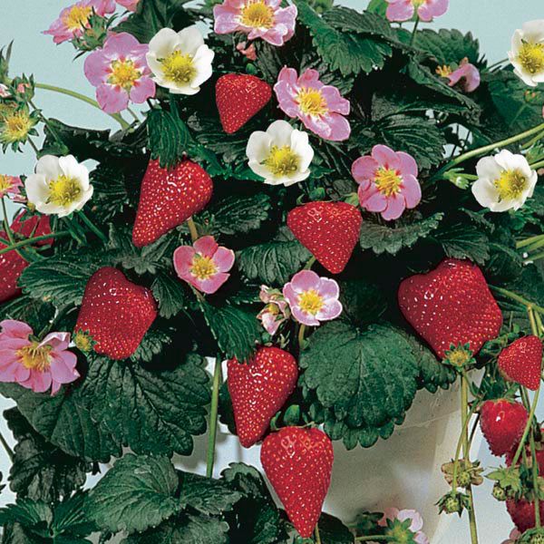 Strawberry fragoo fragaria hybrid my garden insider strawberry fragoo fragaria hybrid mightylinksfo