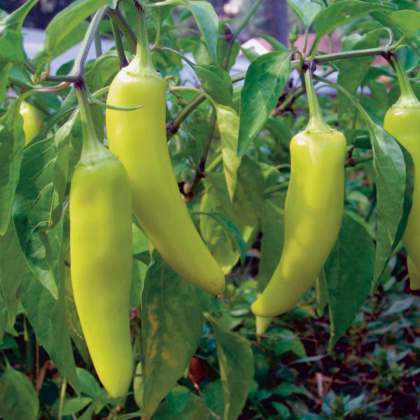Hot Pepper 'Hungarian Hot Banana' (Capsicum annuum)