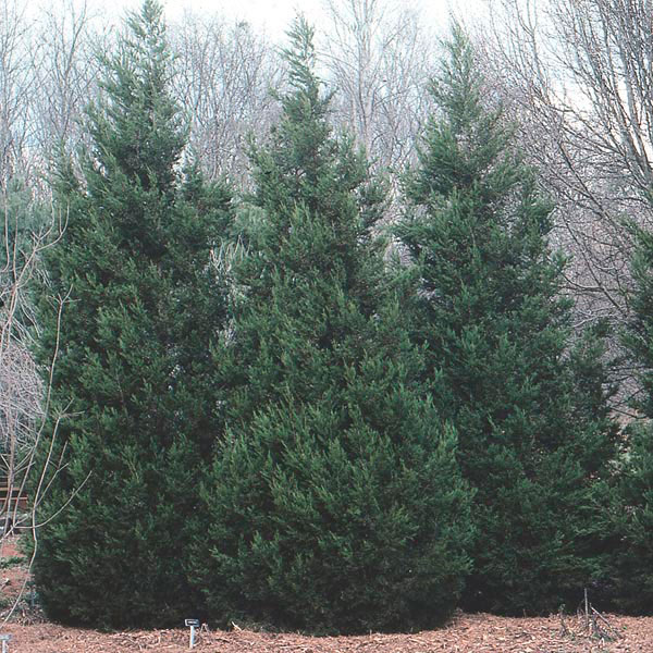 Upright Juniper Juniperus Species My Garden Insider