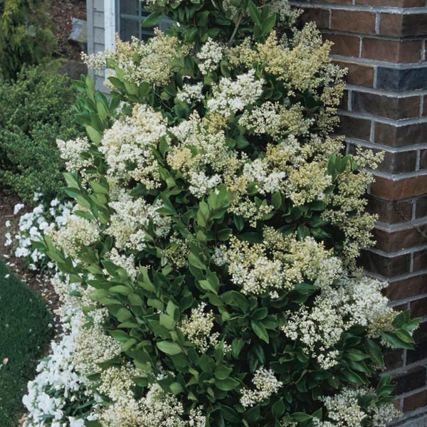 Japanese Privet, Waxleaf Privet (Ligustrum texanum)