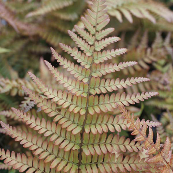 Autumn Fern Indoors (Dryopteris erythrosora)