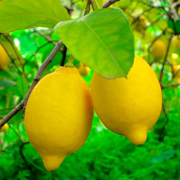 lemon tree care instructions