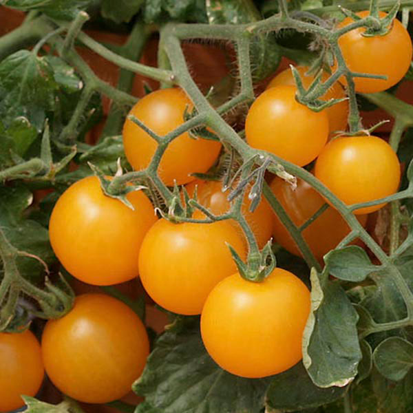 Tomato 'Tumbling Junior Yellow' (Lycopersicon esculentum)