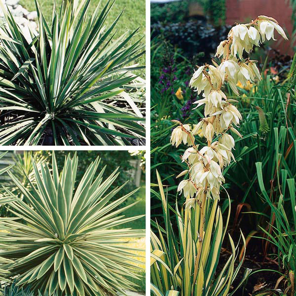 yucca adam 39 s needle yucca filamentosa my garden insider. Black Bedroom Furniture Sets. Home Design Ideas