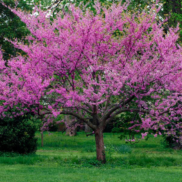 Oklahoma redbud 39 oklahoma 39 cercis canadensis texensis for Great small trees
