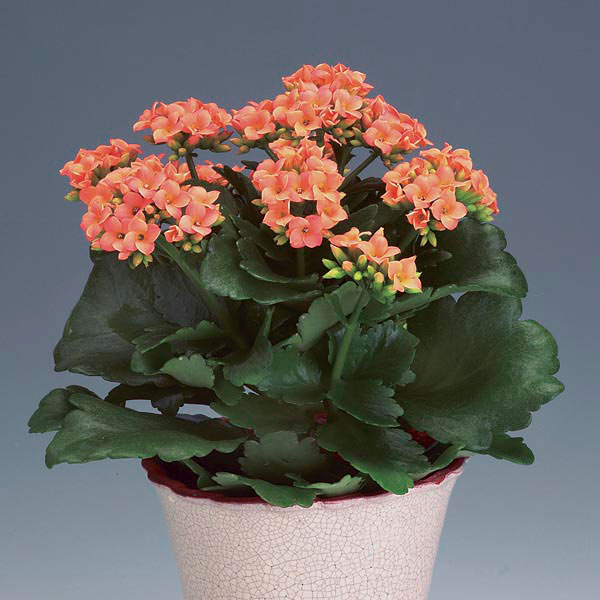kalanchoe indoors kalanchoe blossfeldiana my garden life. Black Bedroom Furniture Sets. Home Design Ideas