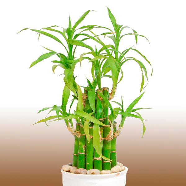 lucky bamboo ribbon plant dracaena sanderiana my garden insider. Black Bedroom Furniture Sets. Home Design Ideas