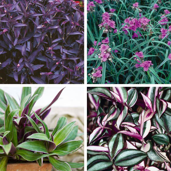 Spiderwort wandering jew tradescantia species my garden life - Wandering jew care ...