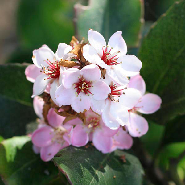 Indian Hawthorn 'Pinkie' (Rhaphiolepis indica)