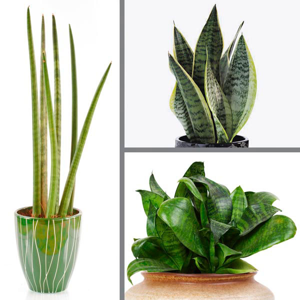 Mother-in-law's Tongue, Snake Plant (Sansevieria species)