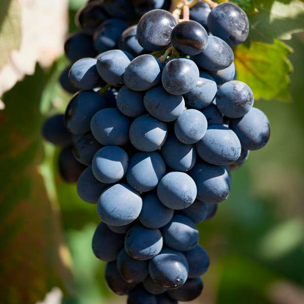 Fox Grape 'Fredonia' (Vitis labrusca)