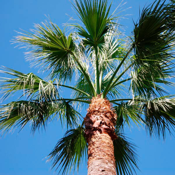 Desert Fan Palm (Washingtonia filifera)