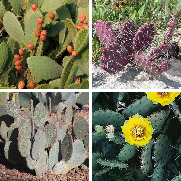Prickly Pear, Bunny Ears (Opuntia species)